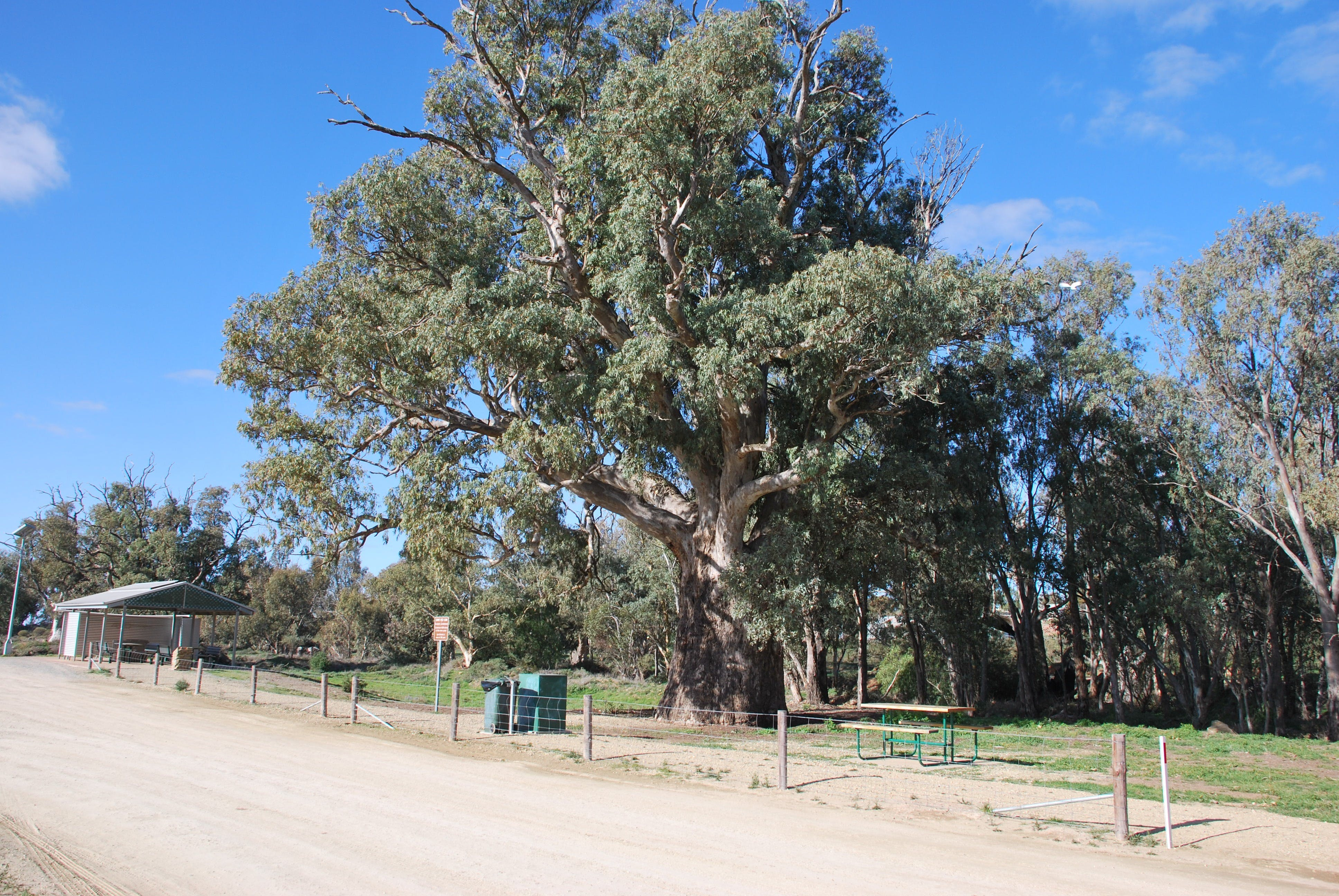 Giant Gum Tree