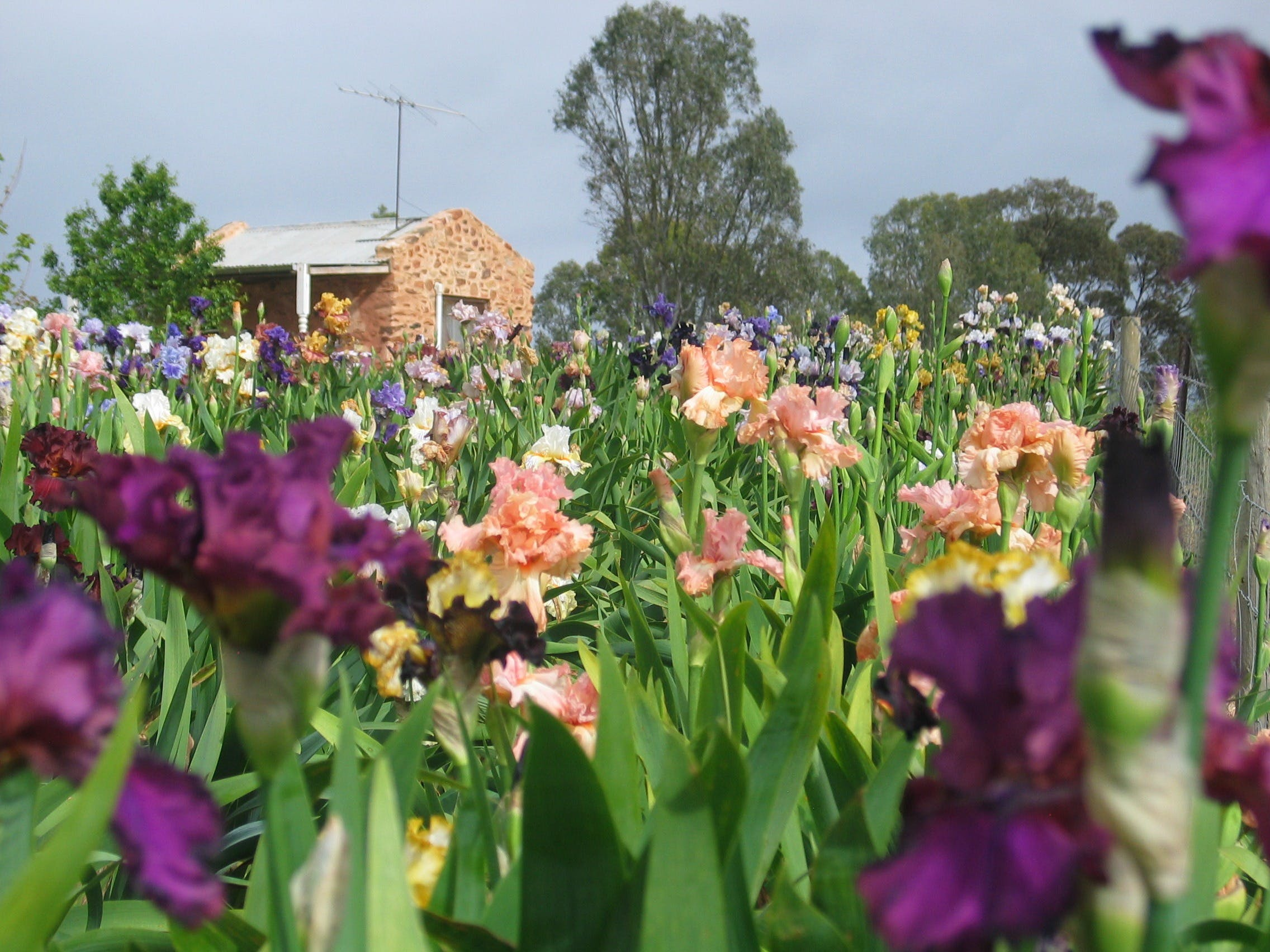Smokin Heights Iris Display Garden