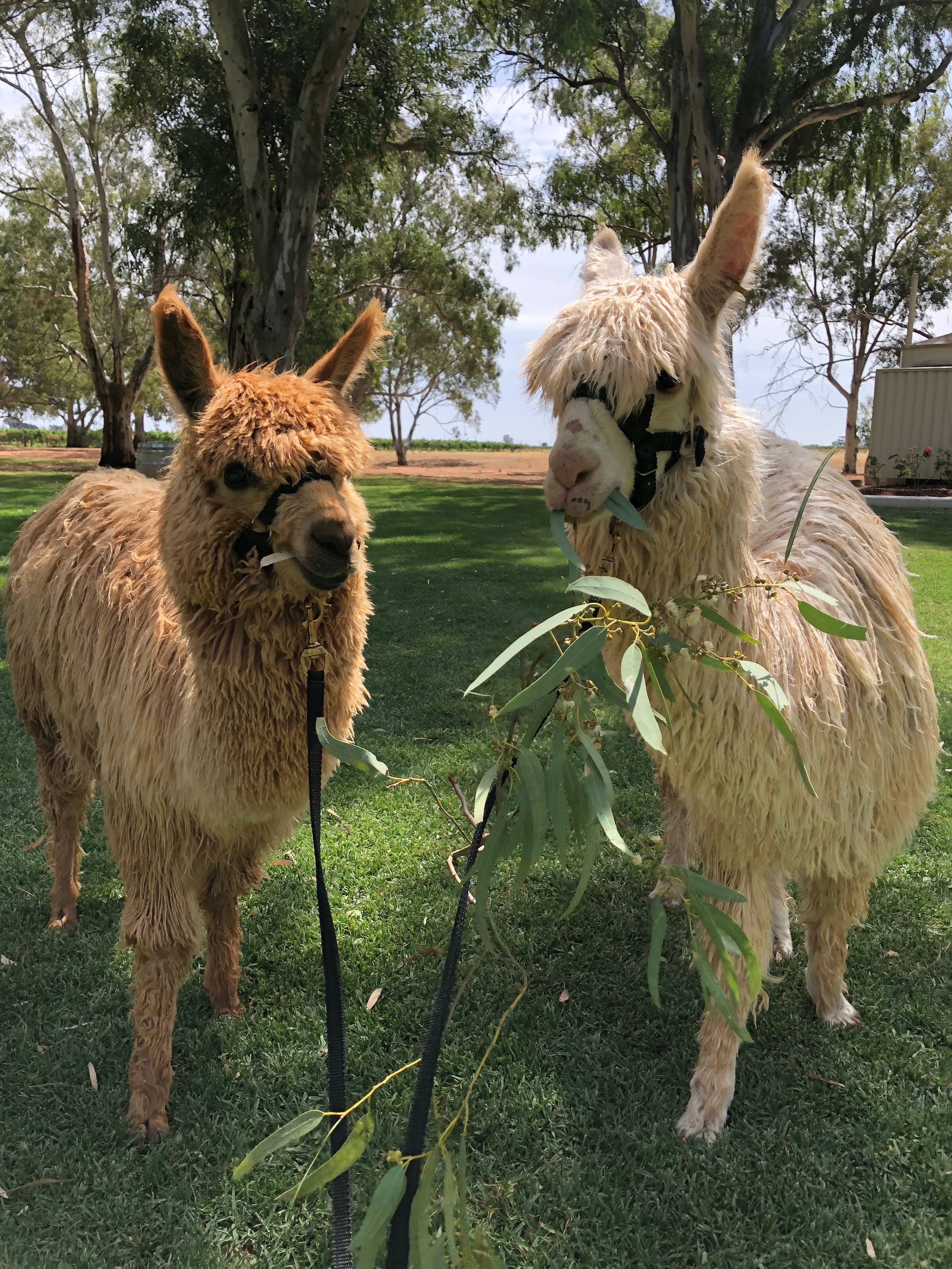 Visit an alpaca farm and get up and personal with these gentle and unique animals
